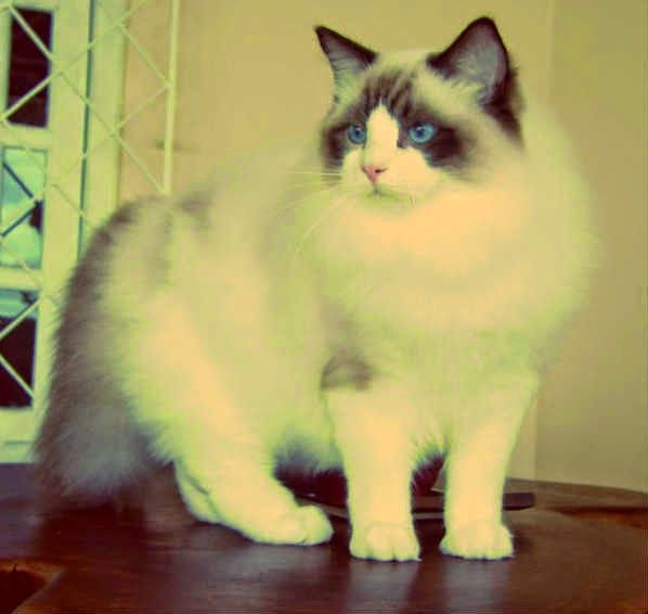 cats funny / cats and kittens / cat pictures / cute animals / kittens / kitty / kittens funny / ragdoll cat / ragdoll kitten