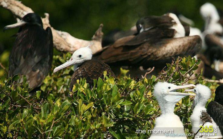 frigatebirds of Barbuda - photo gallery