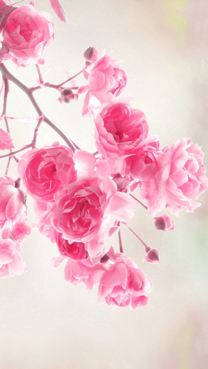flowers wallpapers pink roses flowers free computer