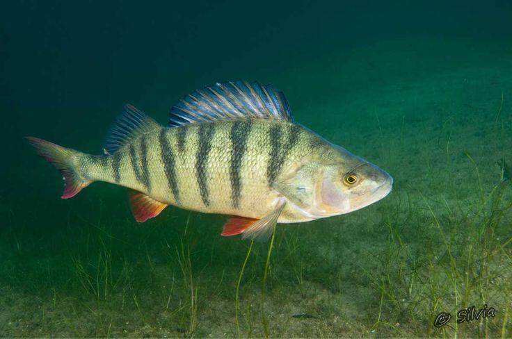 Baars is actieve roofvis. Vroeger veel gevangen met een worm, maar tegenwoordig ook wel met kunstaas. Nu gevangen in de Dommel  bij Halder.
