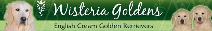 English Cream Golden Retriever Puppies Wisteria Goldens