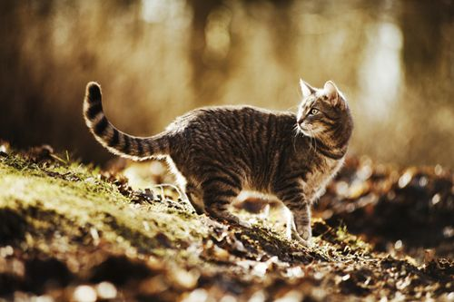 Image result for Brown tabby cat
