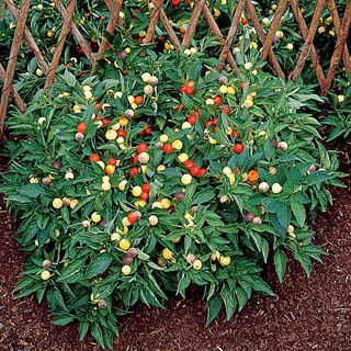 Marble peppers: 14 Inch Plant, Pepper Seeds, Color, Bag, Plants, Pepper Marbles, Marbles Pepper, Garden, Rainbow