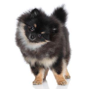 Elevages de Spitz nain ( Pomeranian ) ( Zwergspitz ) dans l'hérault. Trouvez et Achetez votre chiot de race en France - Eleveurs-Online.com