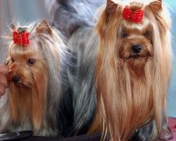 Top 10 Most Popular Dog Breeds in America Top 10 Most Popular Dog Breeds in America - 2012