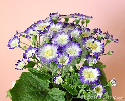 A beautiful cineraria with white and blue colors