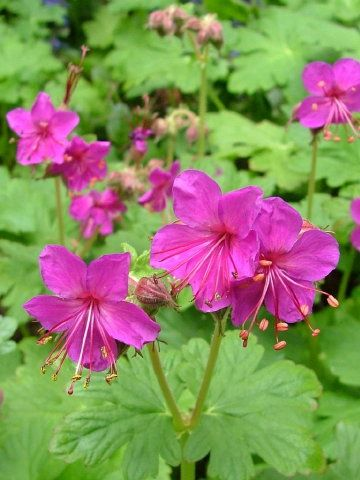 Geranium macrorrhizum (Bevan's Variety)   A hardy, semi-evergreen perennial with strongly aromatic, broadly-lobed, bright-green foliage. Deep-magenta pink flowers from April to June. A drought resistant plant, suitable for ground-cover. Height 30cm. Spread 60cm. Easy to grow in most garden soils in sun or partial shade.  Mine tolerates a lot of neglect - it thrives in spite of me.