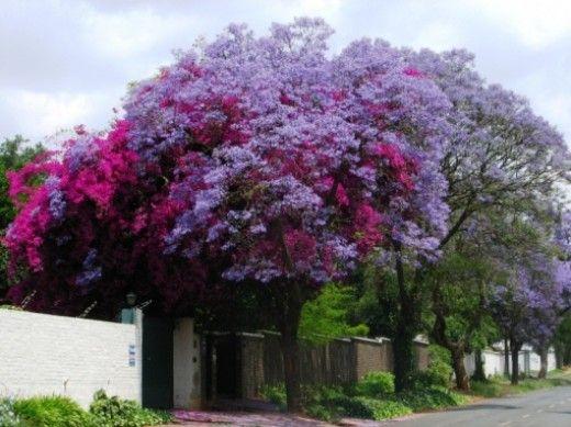 Jacaranda tree w/amazing purple colors