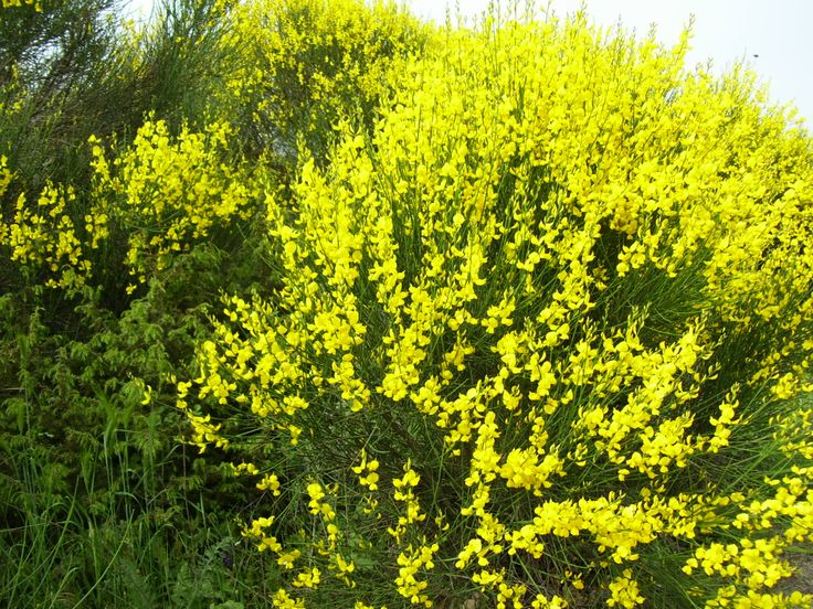 Σπάρτο (Spartium junceum)
