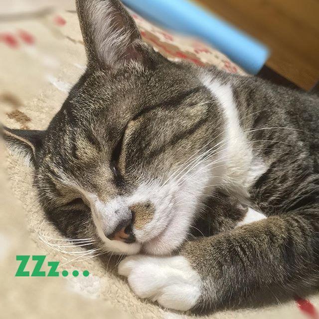 ホットカーペットでぬくぬくたびさん💤 ☆ 寒さ逆戻りで、春は何処へ〜🙀 ☆ でも寒いおかげで夜寝る時は一緒に布団に入って来てくれる😍 ☆ 春も待ち遠しいけどまだ寒くてもいいかなぁ😊 ☆ #後ろのストレッチ棒は気にしないで #cat#cats#catstagram#instacat#browntabby#ilovecat#ねこ#猫 #愛猫#キジトラ#キジトラ白#キジ猫#きじ白#靴下猫#ねこ部#にゃんすたぐらむ#みんねこ#picneko#ピクネコ#ペコねこ部#保護猫#nyaspaper#ねこ写真#ペットスマイル