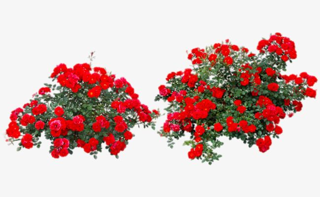 Red Rose Bushes Rose Clipart Flowers Plant Png Transparent Clipart Image And Psd File For Free Download Rose Bush Rose Clipart Plants