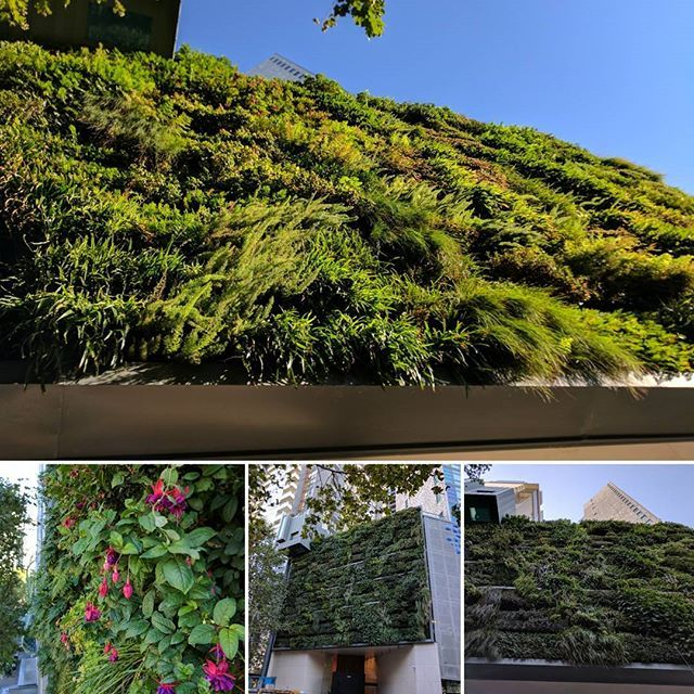 Approximately 200 square metres of vertical garden brought to you by Fytogreen Australia. Built with fytogreen's patented media technology the wall becomes self adaptable to various weather extremities by creating micro eco systems within itself. Consisting of both native and exotic species with a variety of textures and colours this is by far one of the most extravagant greenwalls in Melbourne. A must see for any greenthumb 😀😍. #fytogreenaustralia #fytogreen #verticalgardensvictoria…