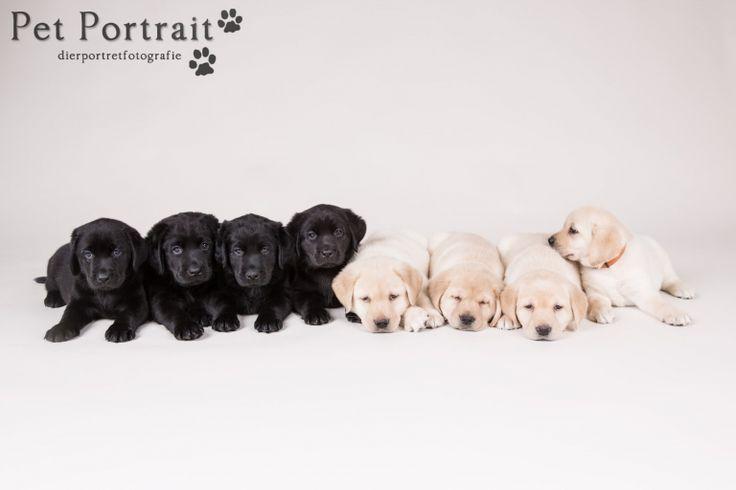 Hondenfotograaf Hillegom - Nestfotoshoot Labrador retriever pups geel en zwart-4