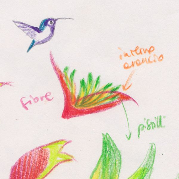 """Hummingbird and heliconia sketch for """"Ciacio in Amazonia"""" picture book by Sarah Khoury"""