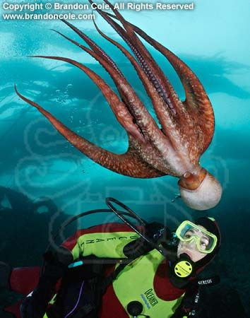 https://flic.kr/p/yevQ3 | pp0108-D-©_brandon_cole_pacific_giant_octopus | pp0108-D. Pacific Giant Octopus (Enteroctopus dofleini) interacts with scuba diver (Model Released). British Columbia, Canada, Pacific Ocean. Photo Copyright © Brandon Cole. All rights reserved worldwide.  www.brandoncole.com  This photo is NOT free. It is NOT in the public domain. This photo is a Copyrighted Work, registered with the US Copyright Office.  Rights to reproduction of photograph granted only upon payment…