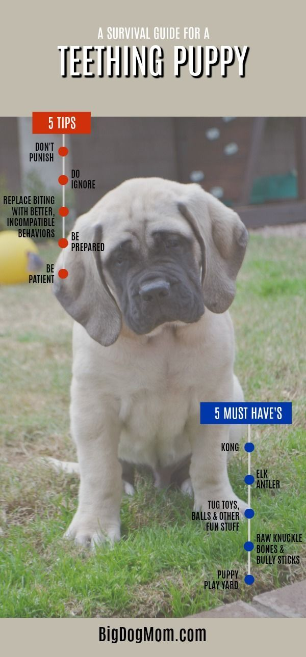 Puppy Teething 101 Ultimate Survival Guide For Large Breed