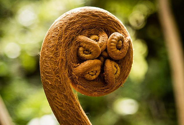 With a distinct spiral head, the hāpu'u (Cibotium sp.) is a Hawaiian tree fern commonly found in the islands' forests