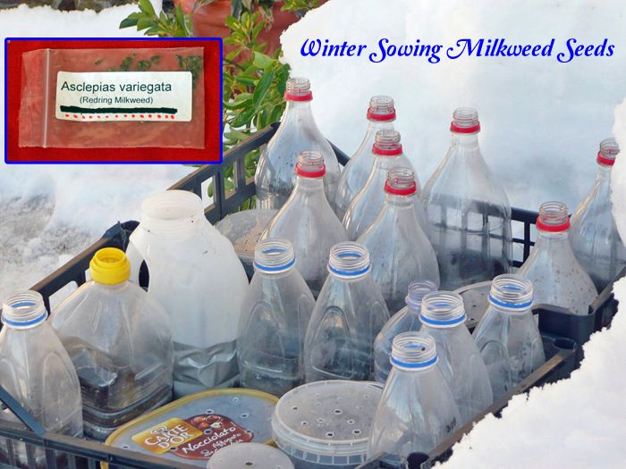 Winter Sowing Milkweed Seeds Part 1: Supply Checklist Give your seeds a natural cold stratification outdoors so they come alive next spring...