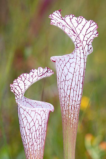 Sarracenia leucophylla var, white top pitcher, Alabama.