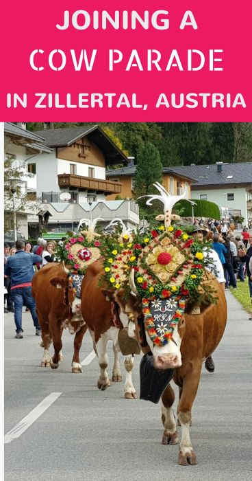 Each fall, the farmers in Zillertal, Tyrol in Austria bring their cows down to the valley during the Almabtrieb festival.