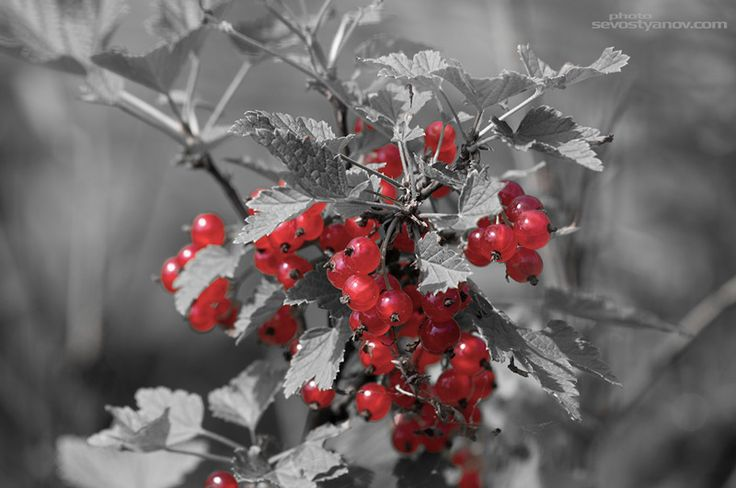 """Redcurrant From """"Black and White"""" prints collection."""