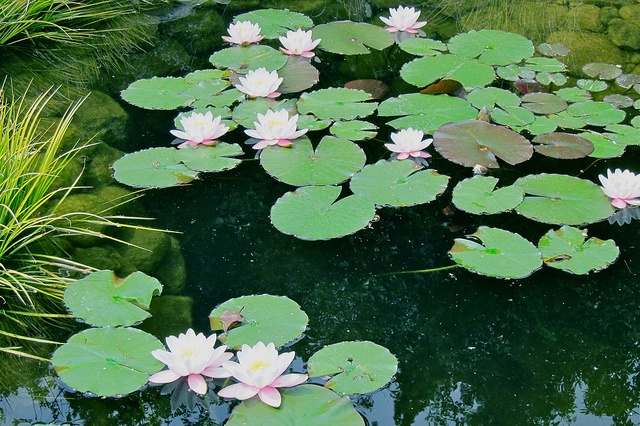 Water lilies and reflections in my backyard pond.