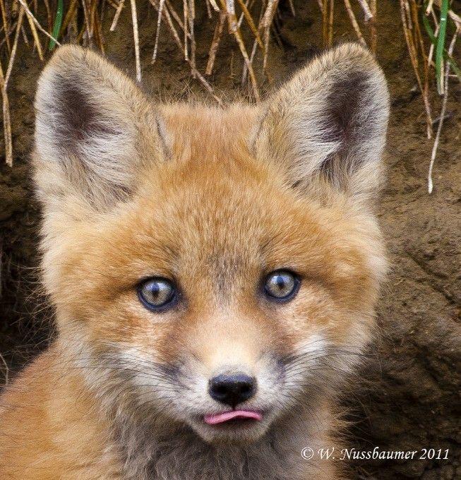 Fox By Walter Nussbaumer