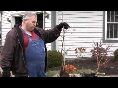 Pruning Japanese Maples - YouTube
