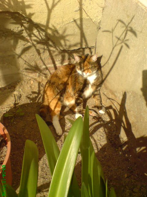 Glücklicherweise erleidet eine Katze sehr selten Vergiftungen, die durch Pflanzen verursacht werden. Die Fleischfresserin kennt ihren Speisezettel ganz gut, und vegetarische Nahrung steht da nicht drauf. Ihr zielsicherer Instinkt lässt sich ganz gut beobachten, wenn man eine Freigängerkatze in den Garten begleitet, wo sie ganz bestimmte Pflanzen ansteuert. Die Katze weiß etwa, dass das Knabbern an Grashalmen als natürliches Brechmittel hilft, um Haarballen auszuwürgen. Wer Katzenminze…