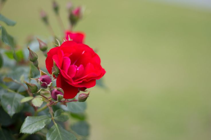 Red rose in close-up