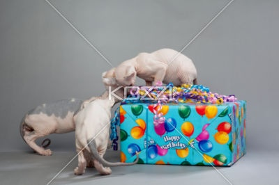 three cute puppies opening gift - A three white cute puppy opening a blue giftStockings Photography, Cute Puppies, Three White, Puppies Open, Blue Gift, Open Gift, Gift Stockings, Puppy'S, The Roller Coasters