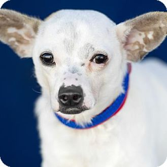 Pictures of Trent a Chihuahua/Terrier (Unknown Type, Small) Mix for adoption in Colorado Springs, CO who needs a loving home.