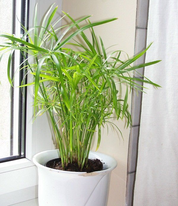 Poniewaz Papirus Cibora W Naturze Rosnie W Zaroslach W Warunkach Domowych Wymaga Stanowiska Widnego Lecz Growing Plants Indoors Best Indoor Plants Shade Plants