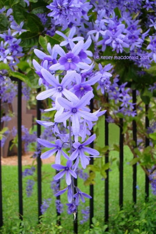 View picture of Queen's Wreath, Bluebird Vine, Sandpaper Vine (Petrea volubilis) at Dave's Garden.  All pictures are contributed by our community.