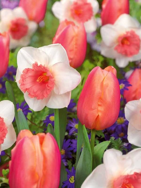 """Collection """"Coeur orange"""" (5 tulipes Apricot Favorite + 5 narcisses Omph)"""