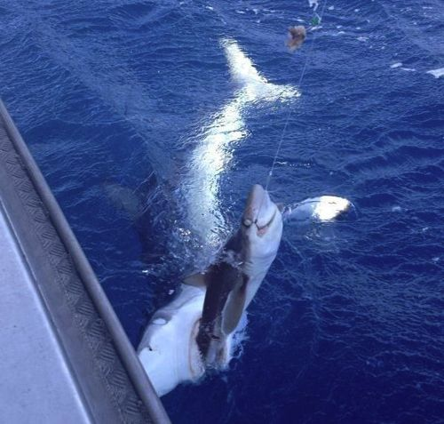 223 best shark fishing images on pinterest sharks shark for Great white shark fishing