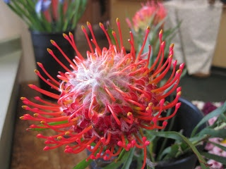 """In honor of this special day, we present to you a flower that would be at home in any of the Dr. Seuss books... the pincushion protea."" *Too cool. What Seuss book are you reading tonight?"