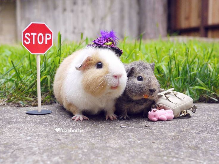 hamsters and guinea pigs comparison A short article on caring for hamsters, guinea pigs, rabbits, rats and mice.