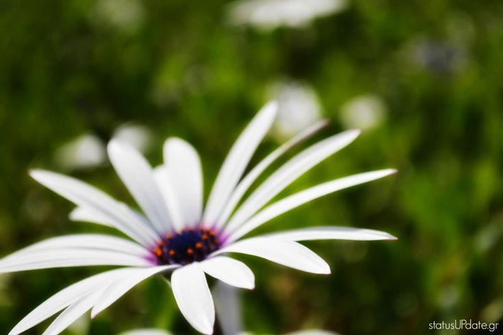 #Spring #Daisy #Flower