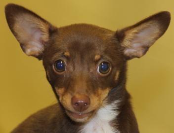 Kansas Humane Society - Sundae - Available for Adoption in Wichita, KS - (316) 524-9196