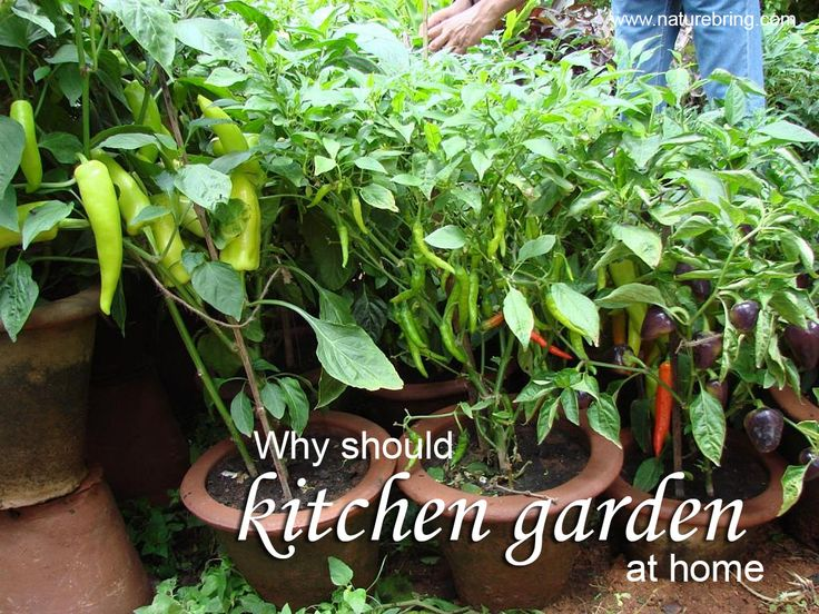 Why should kitchen garden at home?  Home Garden use of your time when you save a form with, and physical exercise do.   How to maintain your kitchen garden: Currently the kitchen garden has grown increasingly common. People especially Housewife and old man people time wisely is to consider the most appropriate garden. You can grow in kitchen garden many fruits, vegetables, spices, flower plants in the kitchen garden.see more.. naturebring.com