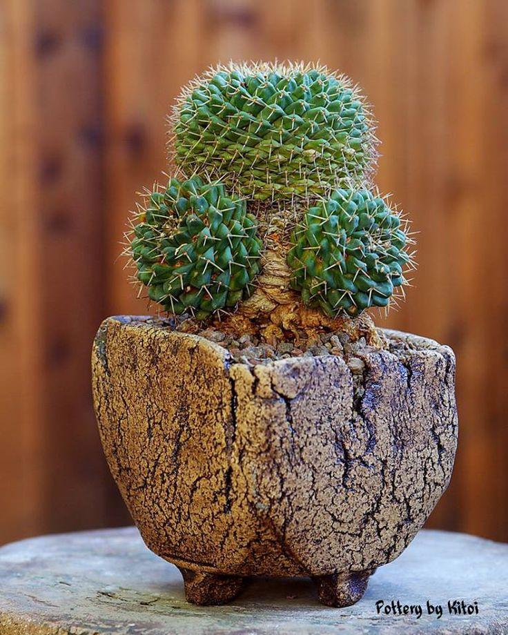"Mammillaria boelderliana, 5"" pot.  Keith Kitoi Taylor Pour l'accord entre la plante et le pot"