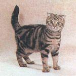 Шотландская вислоухая кошка (коричневый классический табби)