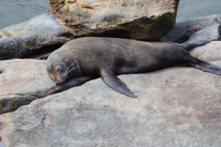 Mr Snoozy Sea Lion lazing on the rocks in the sun.  Photo taken at Shag Point in Otago, New Zealand where there are families of sea lions living and playing in between the rocks.    #sealion #rocks #otago #newzealand #imagesbyShivonne