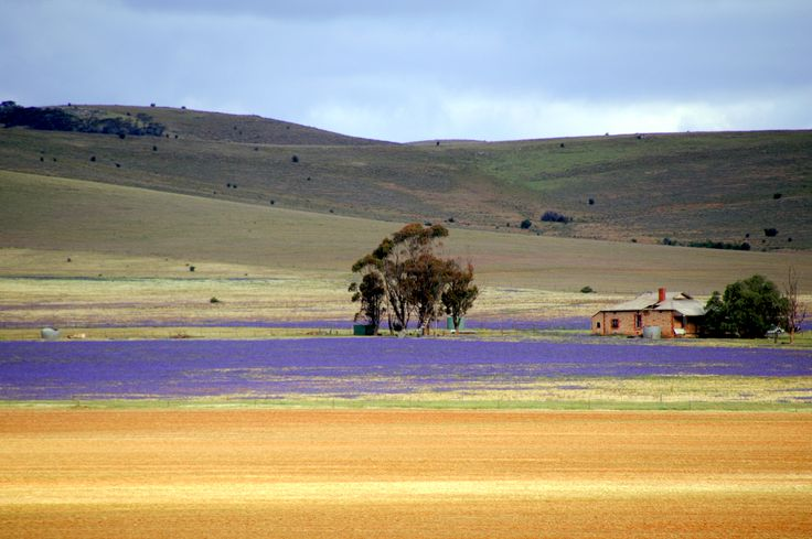"""On the way to Adelaide from Broken Hill, Australia. Purple """"Patterson's curse"""" thistles."""