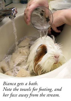 Guinea Pig Health & Grooming