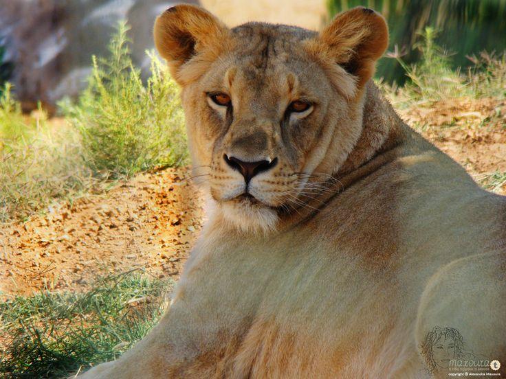 Πανέμορφα ζώα σε όχι και τόσο πανέμορφες συνθήκες.... Κρίμα αλλά ένα λιοντάρι χρειάζεται πολύ περισσότερο χώρο από αυτόν που παρέχει το πάρκο.