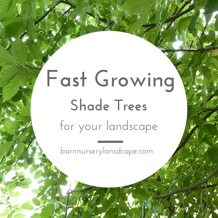 Fast Growing Shade Trees To Plant In The Landscape