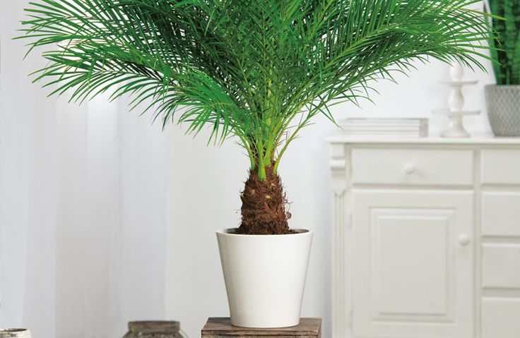 17 beste afbeeldingen over kamerplanten op pinterest for Grote kamerplanten