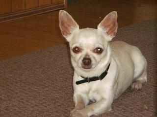 Cool story about how Pit Bulls saved Chihuahua from a Coyote--Buster-Before the attack-24467880.jpg